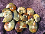 12 Polished full ammonites - TopRock