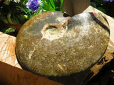 1 Polished full jigsaw ammonite - Top Rocks