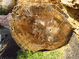 2 Polished petrified wood slices - Top Rocks