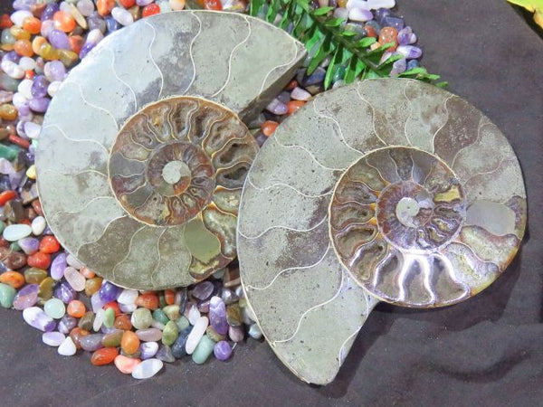 Cut & Polished Ammonite pair x 1 from Madagascar, Tulear - TopRock