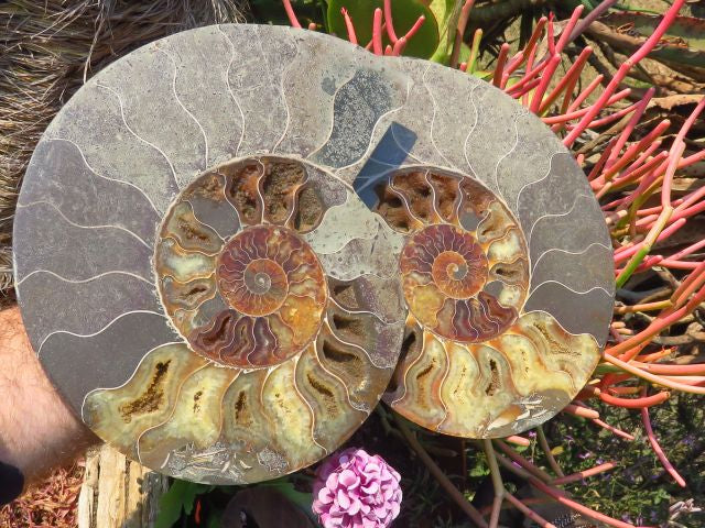 Large cut and polished ammonite pair x 1 from Madagascar, Tulear