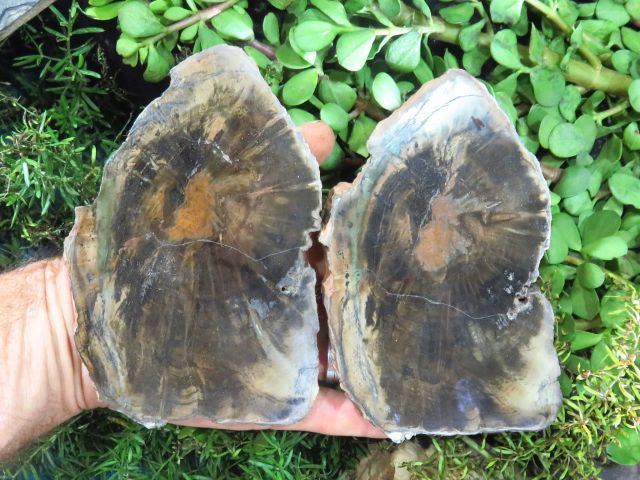 Polished Petrified Wood Slices x 3 from Zimbabwe - TopRock