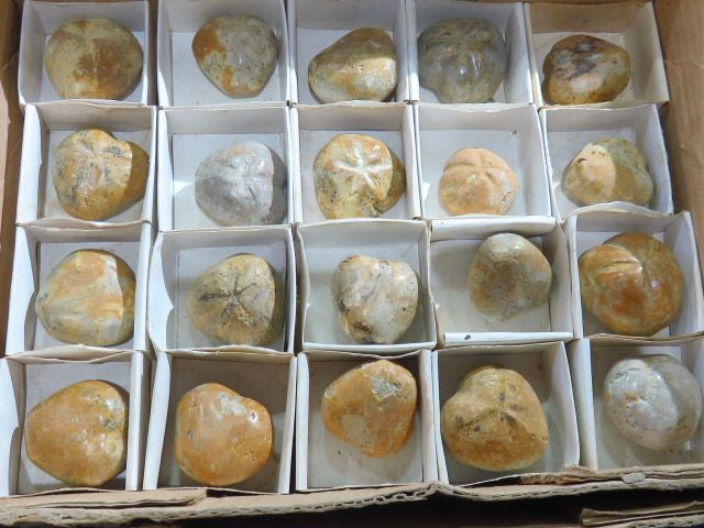 Pansy Echinoid Fossils x 20 from Madagascar