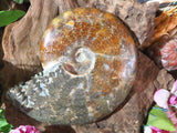 Polished Full Fossil Jigsaw Ammonite x 1 from Madagascar, Tulear - TopRock