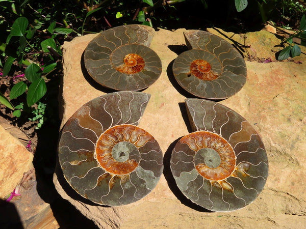 Polished Cut & Polished Ammonite Fossil Pairs x Pairs x 2 From Tulear, Madagascar