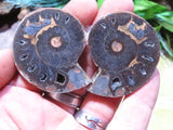 Cut & Polished Ammonite Pairs x 24 from Tulear, Madagascar