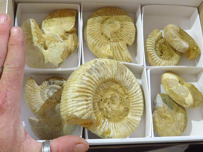Natural Rough Ammonites x 10 from Madagascar - TopRock