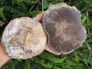 Polished Combretum Petrified Wood Slices x 2  from Zimbabwe