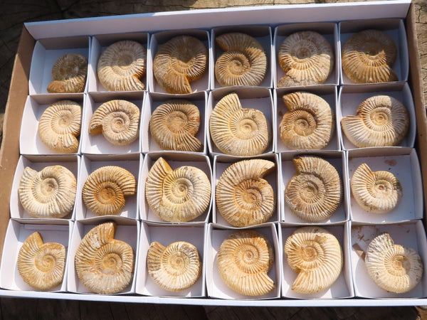 Natural Small White Spinned Ammonite Fossils x 24 from Madagascar