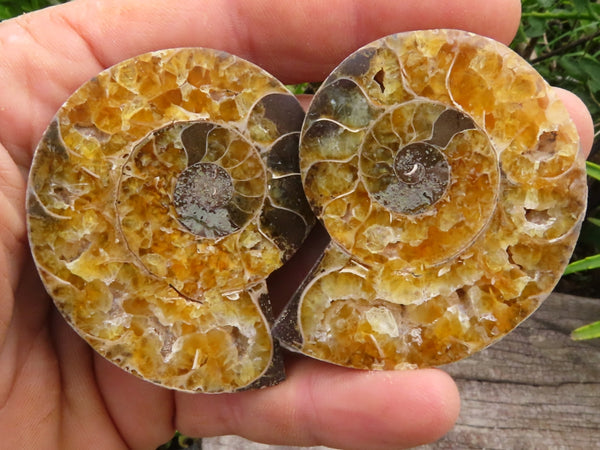 Polished & Cut Small Ammonite Fossils x 24 from Madagascar