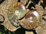 Polished Ammonite Fossils x 2 from Madagascar