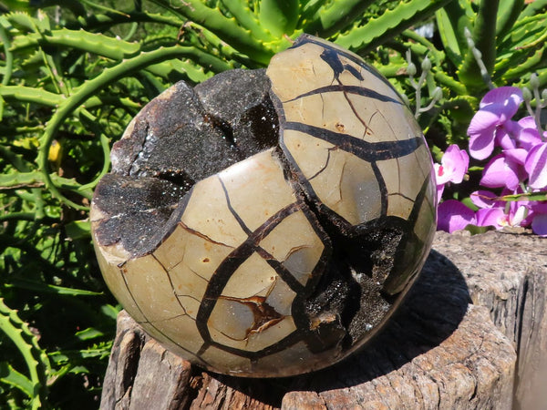 Polished Extra Large Septerye Savage Dragon Egg Sphere With A Cap x 1 from Mahaganja, Madagascar