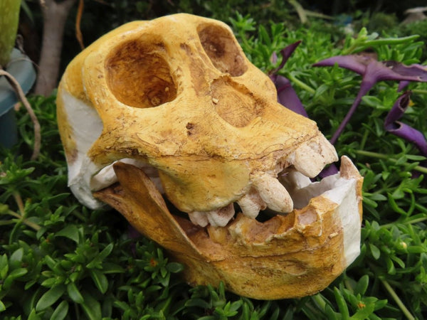 Educational Australopithecus sediba skull cast - sold per piece From Malapa Cave, South Africa