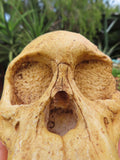 Educational Taung Child Articulated skull cast (Au. Africanus) - sold per piece From Taung, South Africa