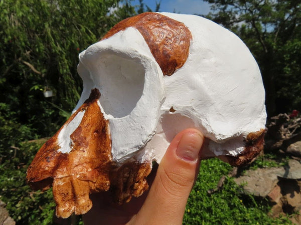 Educational Homo habilis skull cast - sold per piece From Sterkfontein Cave, South Africa