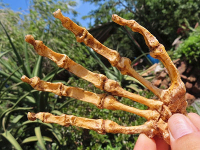 Educational Australopithecus sediba Hand cast - sold per piece From Malapa Cave, South Africa