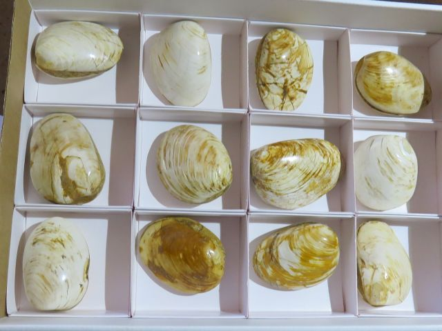 Polished Fossil Clam Shells x 12 from Madagascar - TopRock