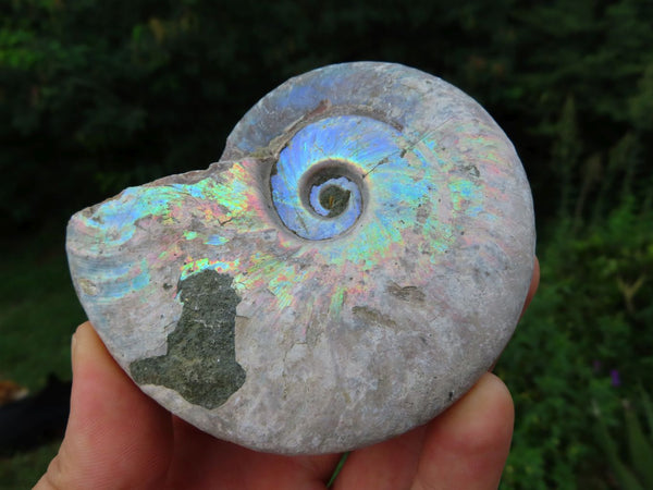 Natural Small to Medium Iridescent Ammonite Fossils x 6 From Tulear, Madagascar