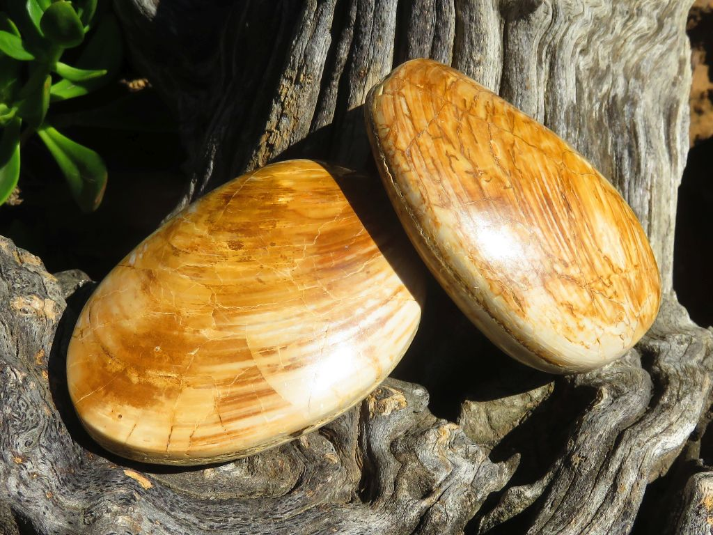 Polished Bivalve Clam Shell Fossils x 12 from Mainterano, Madagascar