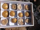 Natural Ammonite & Echinoid Fossils x 12 from Madagascar