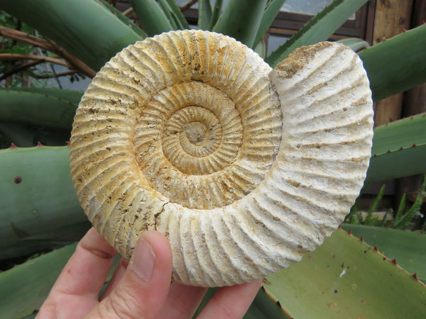 Natural Medium Coquille White Spine Ammonite Fossils x 6 from Mahaganja, Madagascar