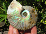 Natural Iridescent Ammonite Fossils x 5 from Maintero, Madagascar