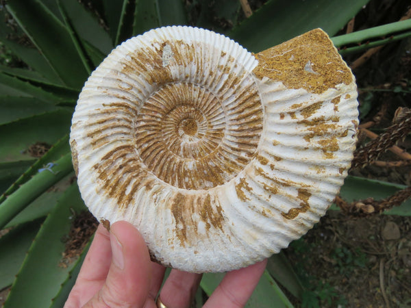 Natural Medium White Spine Ammonite Fossils x 6 from Madagascar