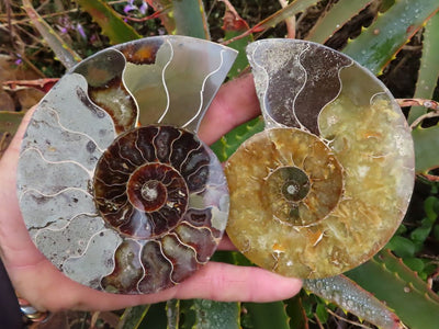 Polished & Cut Ammonite Fossil Pairs x 3 from Tulear, Madagascar