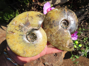 Polished Whole Ammonite Fossils x 2 from Madagascar