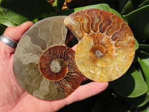 Cut & Polished Ammonite Fossils x 6 from Tulear, Madagascar