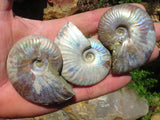 Natural Small Iridescent Ammonite Specimens x 12 from Mainterano, Madagascar