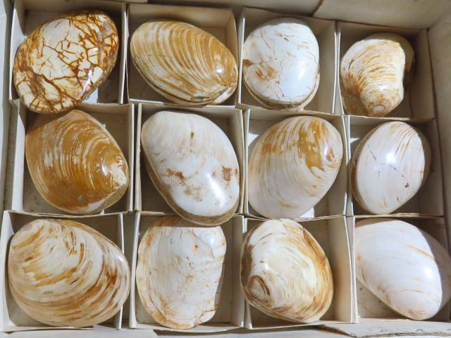 Polished Fossil Clam Shells x 12 from Mainterano, Madagascar - TopRock