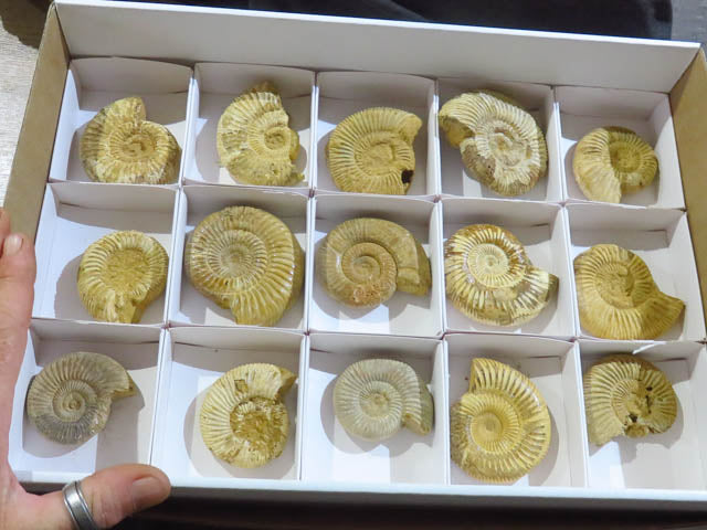 Natural White Spinned Ammonites x 15 from Tulear, Madagascar - TopRock