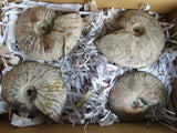 Natural Iridescent Ammonite Fossils x 4 from Maintero, Madagascar