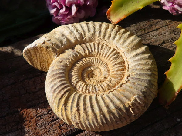Natural White Spine Ammonite Fossils x 12 from Morondava, Madagascar