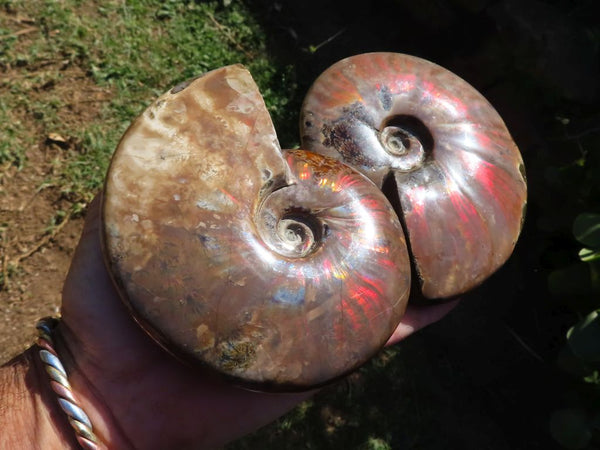 Polished Opalized Ammonite Fossils x 2 from Tulear, Madagascar