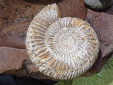 Natural White Spinned Ammonites x 6 from Madagascar - TopRock