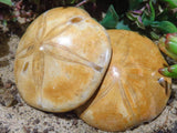 Polished Echinoid Sand Dollar Fossils x 15 from Madagascar - TopRock