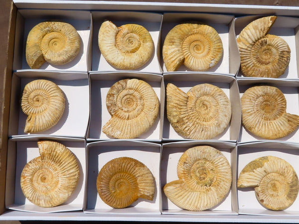 Natural Medium White Spine Ammonite Fossils x 12 from Madagascar