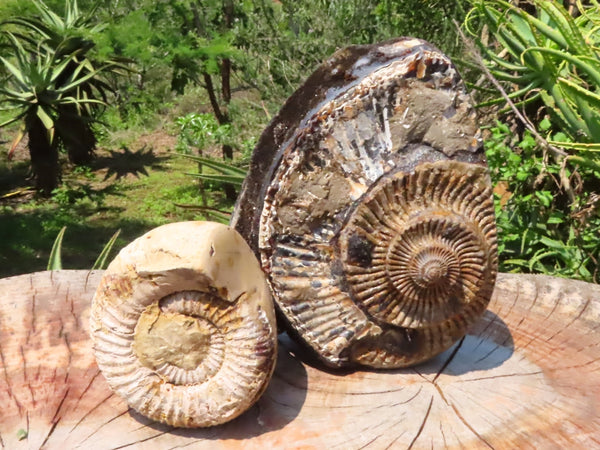Polished One Side Small to Medium Septarian Ammonite Fossils x 2 from Mahaganja, Madagascar