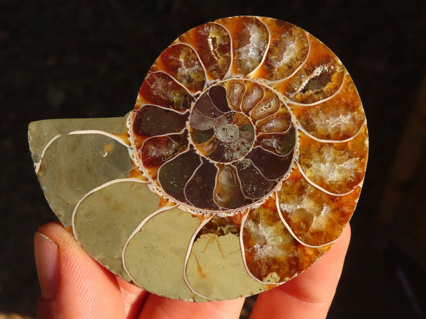 Polished & Cut Ammonite Fossil Slices Pairs x 12 from Madagascar - TopRock
