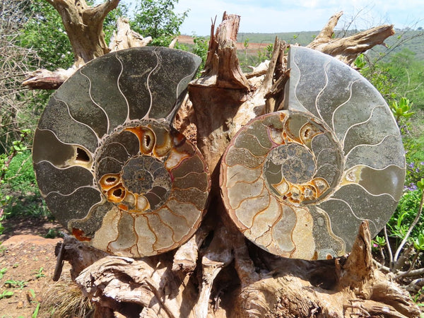 Polished Large Cut & Polished Cleoniceras Ammonite Fossil Pair x 1 From Tulear, Madagascar