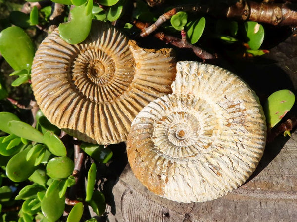 Natural White Spiral Ammonite Fossils x 12 from Madagascar