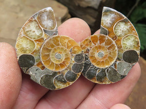 Polished Mixed Ammonite Fossils x 53 from Tulear, Madagascar