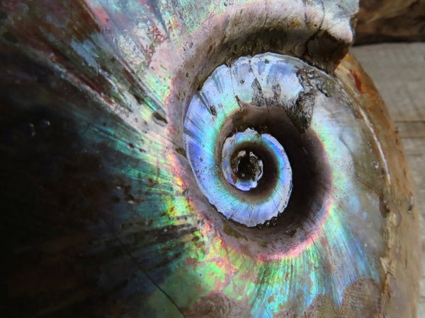 Polished  Large Iridescent Cut & Polished Ammonite Fossils With Pyrite & Opalised Whole Ammonite x 2 From Tulear, Madagascar