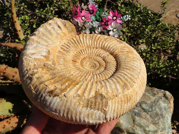 Natural Large White Spine Ammonite Fossil x 1