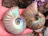 Natural Iridescent Ammonite Fossils x 6 from Mainterano, Madagascar