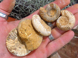 Natural Small White Spinned Ammonites x 13 from Mahaganja, Madagascar - TopRock