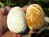 Polished Rare Fossil Bivalves x 12 from Madagascar
