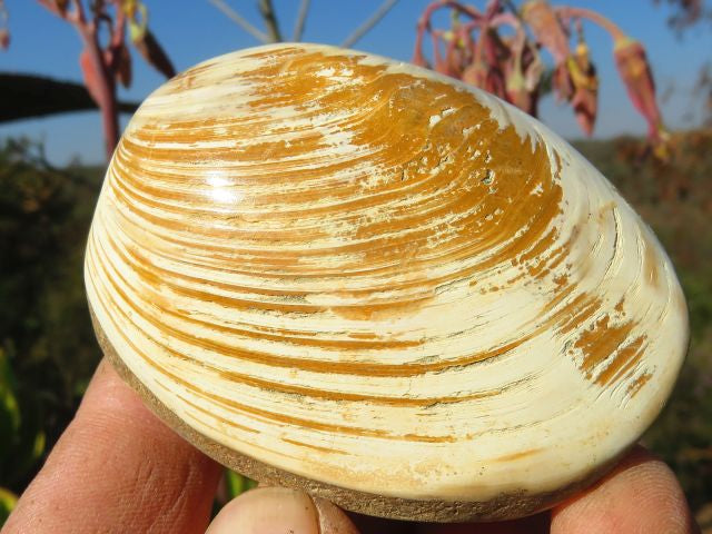 Polished Rare Fossil Bivalves x 15 from Madagascar